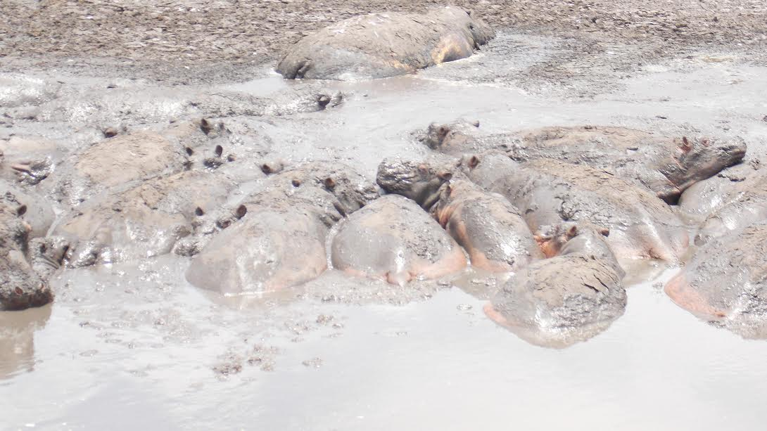 Hippos stuck in the mud at the Lake Kenyatta in Mpeketoni,Lamu.