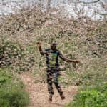 Swarms of desert locusts